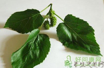 桑叶的功效与作用 桑叶的药用价值