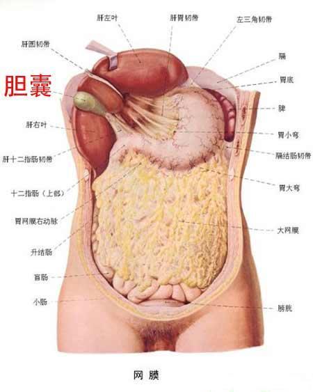 胆的位置(图二)